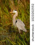 a great blue heron in the... | Shutterstock . vector #1023202552