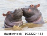 Two Hippo Calfs In Saint Lucia...