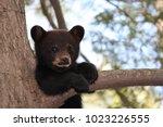 Black Bear Cub Sitting On A...
