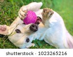white dog playing with ball in... | Shutterstock . vector #1023265216