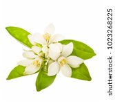 Stock photo flowering citrus spring white fresh orange tree flowers and young green leaves isolated on white 1023268225