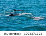 pod of dolphins in bay of... | Shutterstock . vector #1023271126