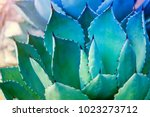 sharp pointed agave plant leaves | Shutterstock . vector #1023273712