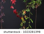 colorful autumn tree vines... | Shutterstock . vector #1023281398