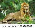 lion  panthera leo  fierce...   Shutterstock . vector #1023287842
