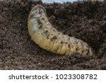 beetles larvae  giant... | Shutterstock . vector #1023308782