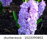 Purple Hyacinth Flower Head