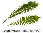 Large Leaf Fern. Escape Of Fer...