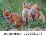 red fox cub | Shutterstock . vector #1023431248
