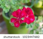 Ivy Geranium With Purple Red...