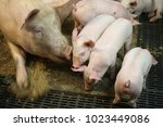 view of a fertile sow lying on... | Shutterstock . vector #1023449086