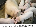 view of a fertile sow lying on... | Shutterstock . vector #1023449092