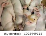 view of a fertile sow lying on... | Shutterstock . vector #1023449116