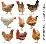 set of chicken isolated on... | Shutterstock . vector #1023467338