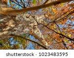 Platanus Acerifolia   Plane Tree