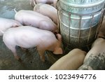the small piglet in the farm.... | Shutterstock . vector #1023494776