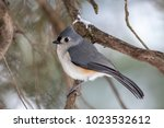 Single Tufted Titmouse Perched...