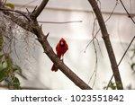 male red northern cardinal bird ... | Shutterstock . vector #1023551842