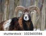 winter portrait of big mouflon... | Shutterstock . vector #1023603586