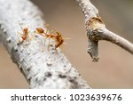 red or yellow ant are carrying... | Shutterstock . vector #1023639676