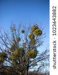 parasitic european mistletoe or ... | Shutterstock . vector #1023643882