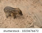 small piglet waiting feed. pig... | Shutterstock . vector #1023676672
