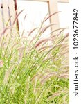 Small photo of The red stalk grasses tend to sing along the winds in the summer.