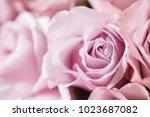 lilac garden rose. bouquet... | Shutterstock . vector #1023687082