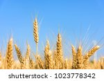 Wheat Closeup Image