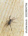 fiddleback spider  violin...   Shutterstock . vector #1023804706