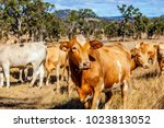 herd of charolais cross brahman ...   Shutterstock . vector #1023813052