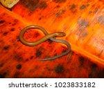Small photo of Lined Supple Skink, Lygosoma lineata, Pune, Maharashtra