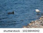little egret  egretta garzetta  ... | Shutterstock . vector #1023844042