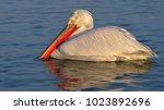 dalmatian pelican  pelecanus...   Shutterstock . vector #1023892696