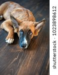 redhead mexican hairless dog... | Shutterstock . vector #1023898612