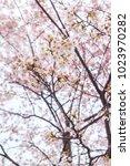 Small photo of Spring season with sakura cherry blossom during raining with cit