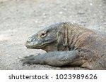a komodo dragon of komodo... | Shutterstock . vector #1023989626