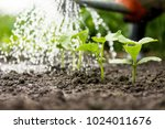 Cucumber Sprouts In The Field...