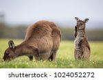 a joey and mother western grey... | Shutterstock . vector #1024052272