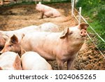 Pigs On The Farm. Happy Pigs O...
