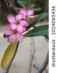 Small photo of Pink Adenium flower