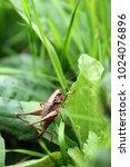 Small photo of Dark bush-cricket, bush cricket