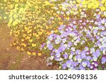 bright and colorful pansies... | Shutterstock . vector #1024098136
