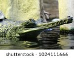 Small photo of Indian gharial from the zoo