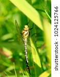 Small photo of southern hawker, blue hawker