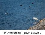 little egret  egretta garzetta ....   Shutterstock . vector #1024126252