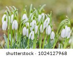 spring snowdrops flower. early... | Shutterstock . vector #1024127968