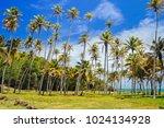 Tall Growing Palm Trees Coast...