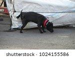 Little Black Dog Pees On White...