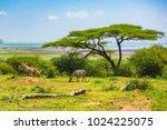 wild zebra at lake manyara... | Shutterstock . vector #1024225075